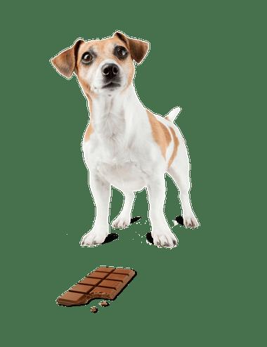 ToxBuddy dog with chocolate bar